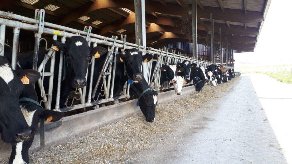 Vaches ferme de Launay